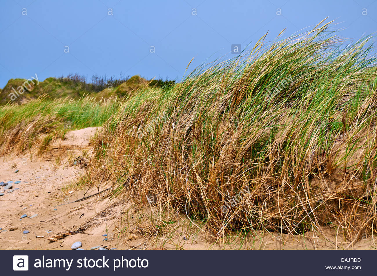marram grass ammophila arenaria stabilizing the shifting sand on dunes - Stock Image