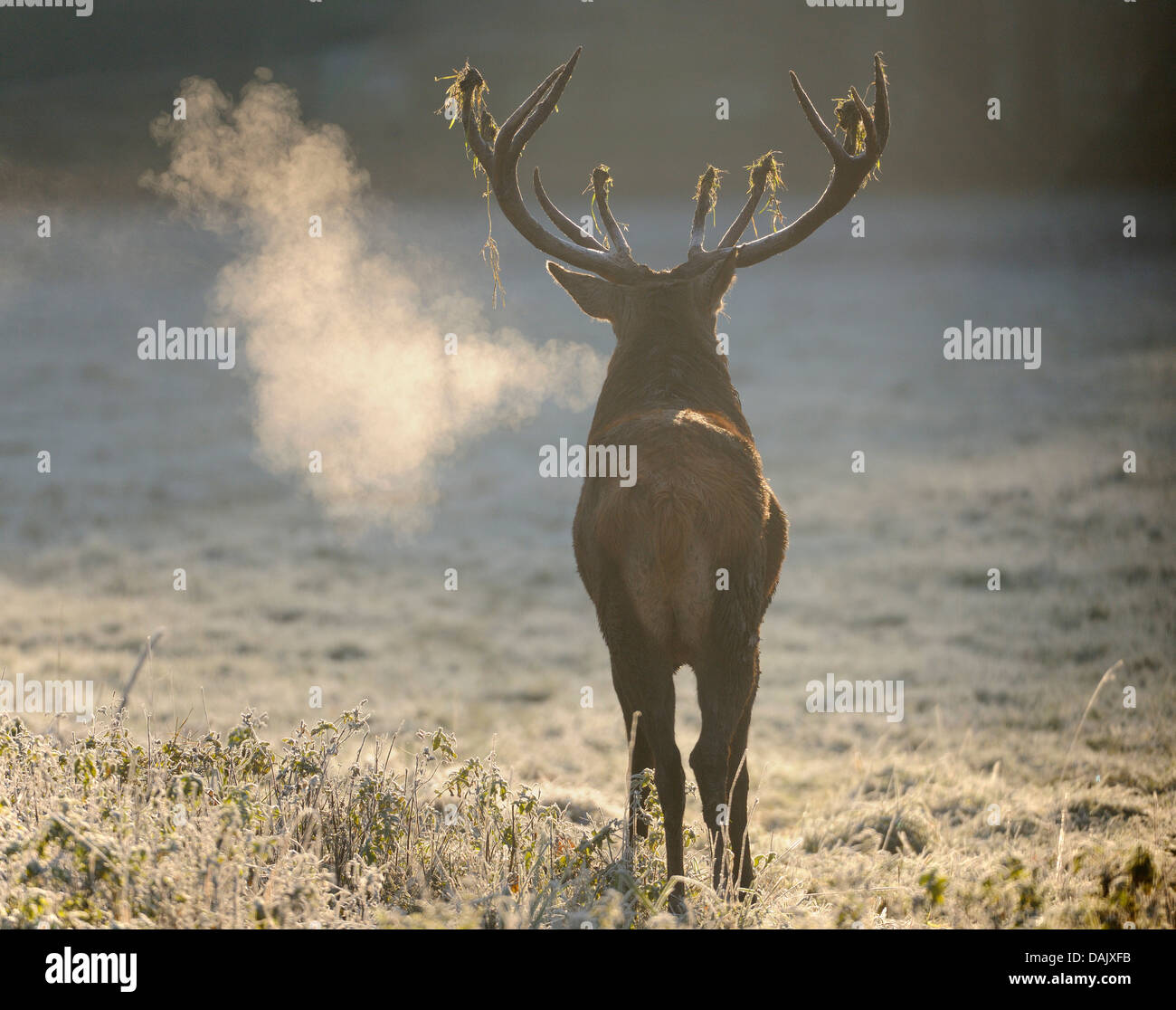 Red Deer (Cervus elaphus), stag roaring in the early morning, captive - Stock Image
