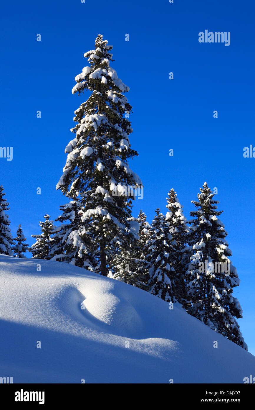 Norway spruce (Picea abies), snowy spruces with blue sky and sunshine, Switzerland Stock Photo