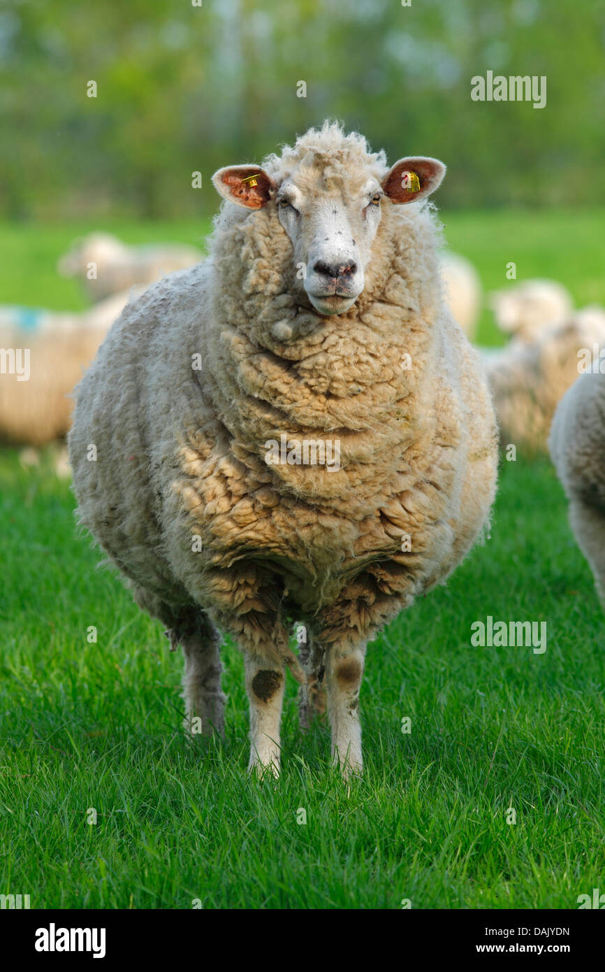 Domestic sheep (Ovis orientalis aries), ewe - Stock Image