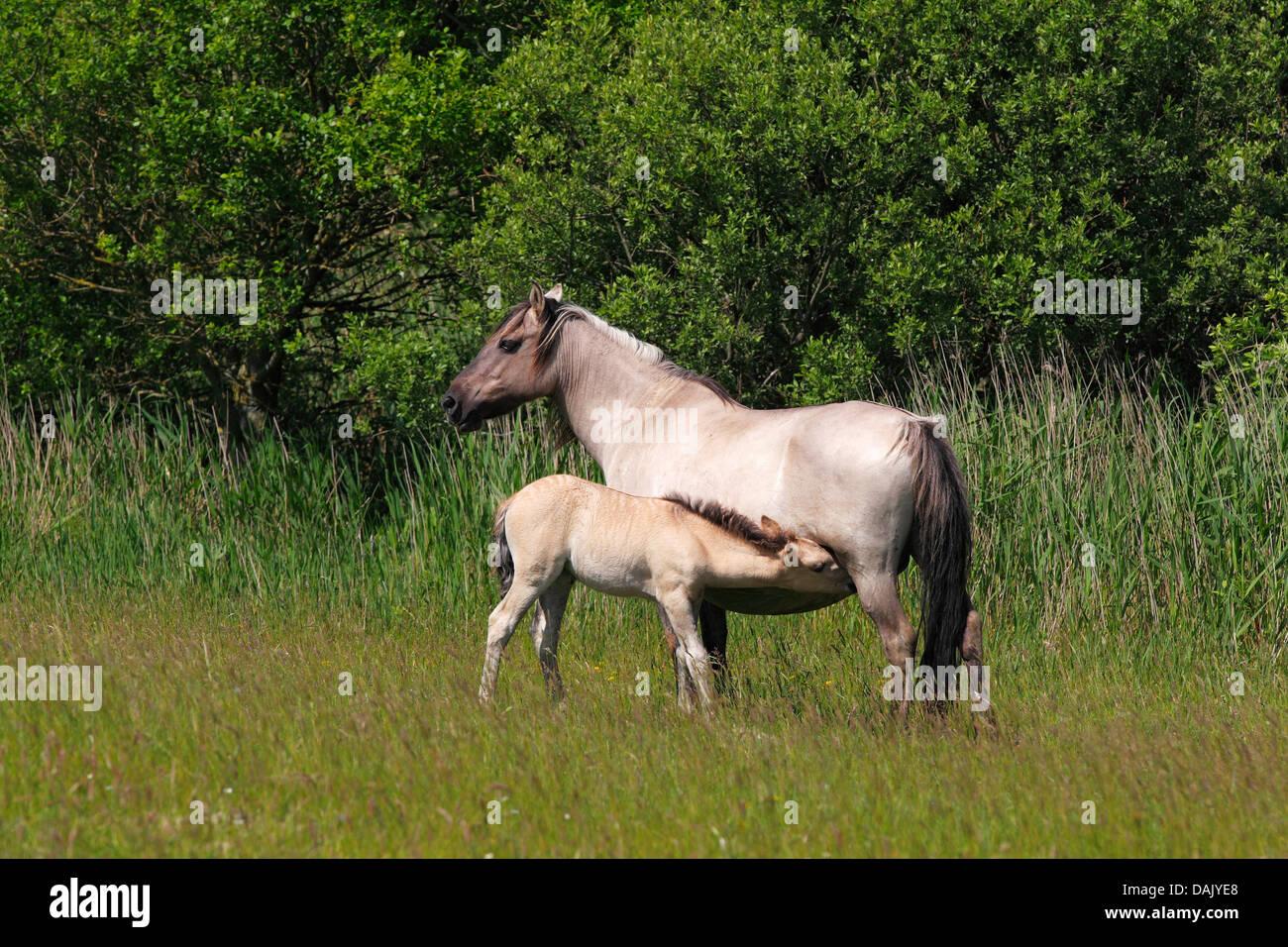 Mare suckling foal, Konik horse or Polish Primitive Horse, Tarpan breeding back (Equus przewalskii f caballus) - Stock Image