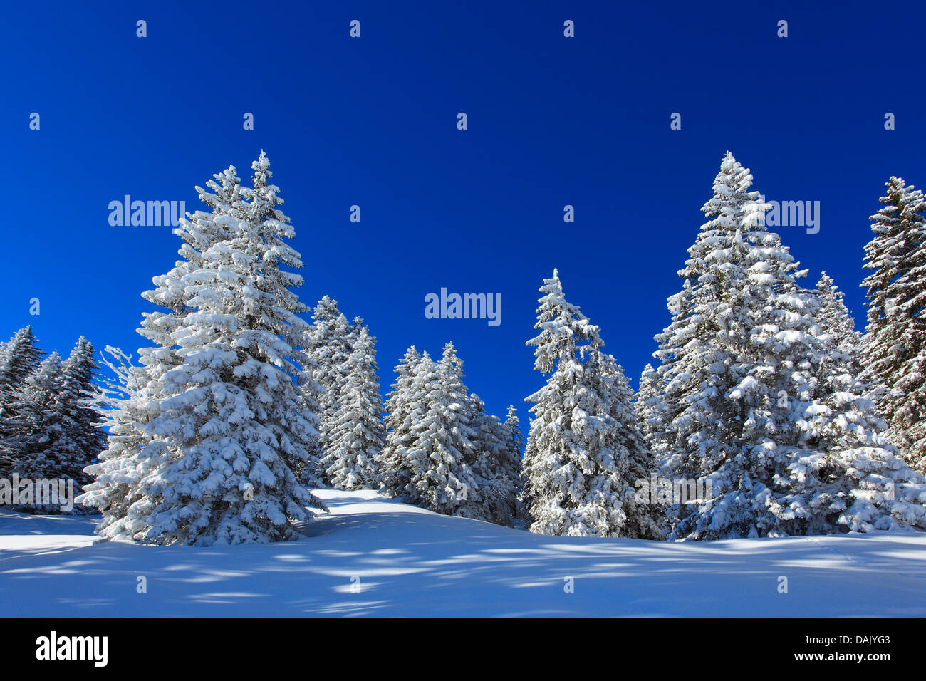 Norway spruce (Picea abies), snow-covered spruces in the Suisse Alps, Switzerland - Stock Image