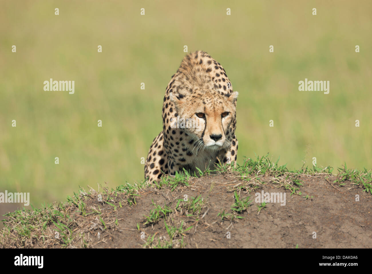 Cheetah (Acinonyx jubatus) observing potential prey - Stock Image