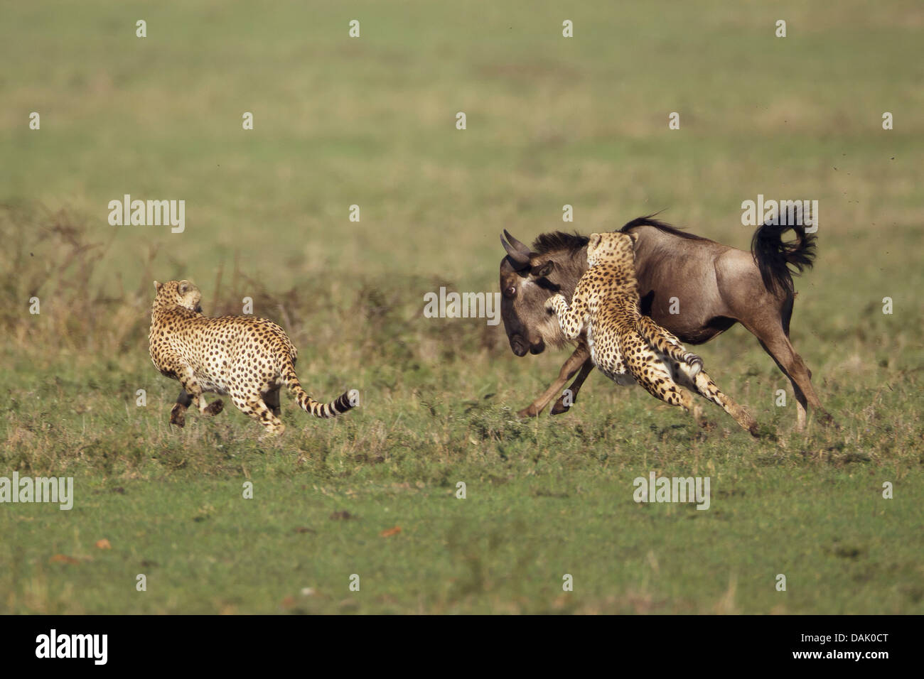 Cheetahs (Acinonyx jubatus) chasing a young Blue Wildebeest (Connochaetes taurinus) - Stock Image