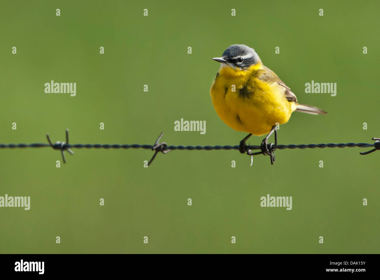 Wire Tails Stock Photos Images Alamy Dak Wiring Diagram Yellow Wagtail Motacilla Flava On Barbed Germany Lower Saxony