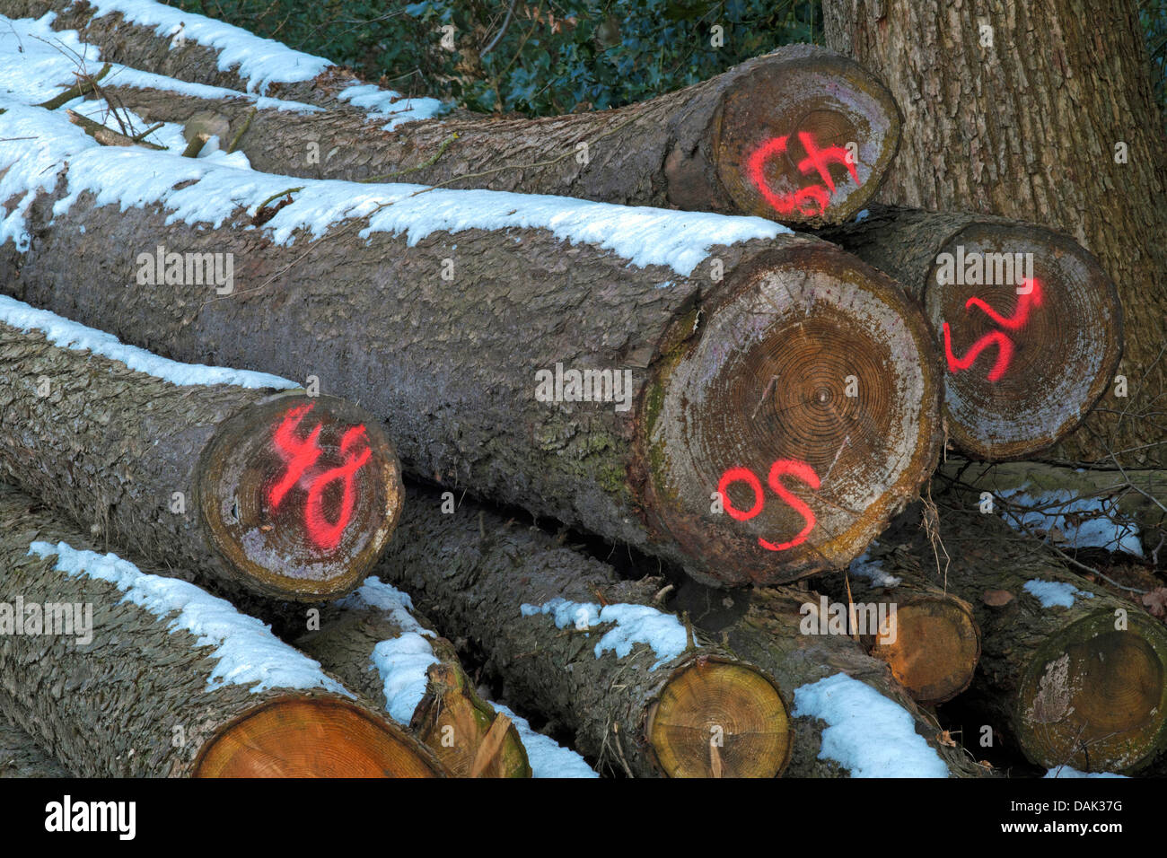 stored and marked trimmed timbers at the forest edge, Germany - Stock Image