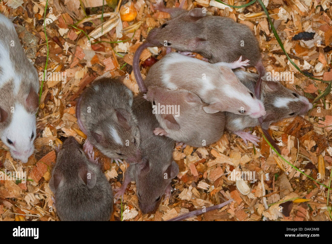 Fancy mouse (Mus musculus f. domestica), young mice in the nest - Stock Image