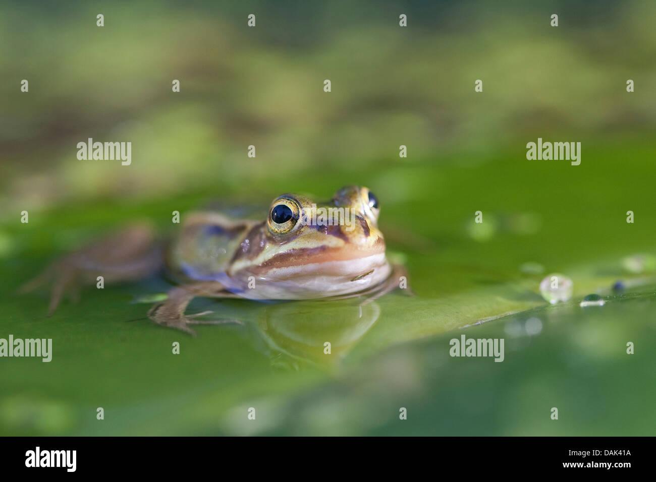 European edible frog, common edible frog (Rana kl. esculenta, Rana esculenta, Pelophylax esculentus), swimming, - Stock Image