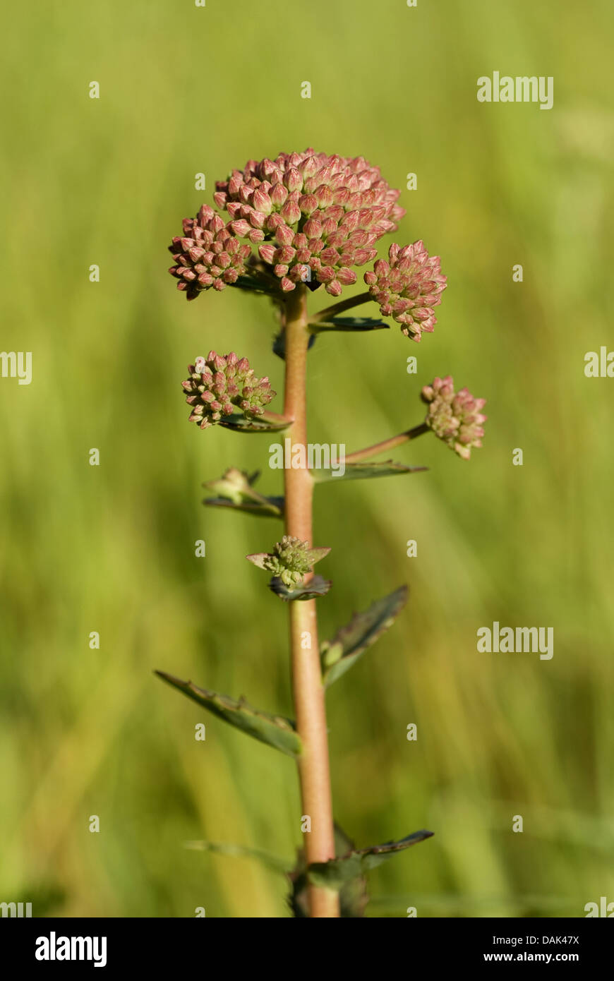 orpine stonecrop, garden stonecrop, live-forever stonecrop (Sedum telephium, Hylotelephium telephium), blooming, - Stock Image
