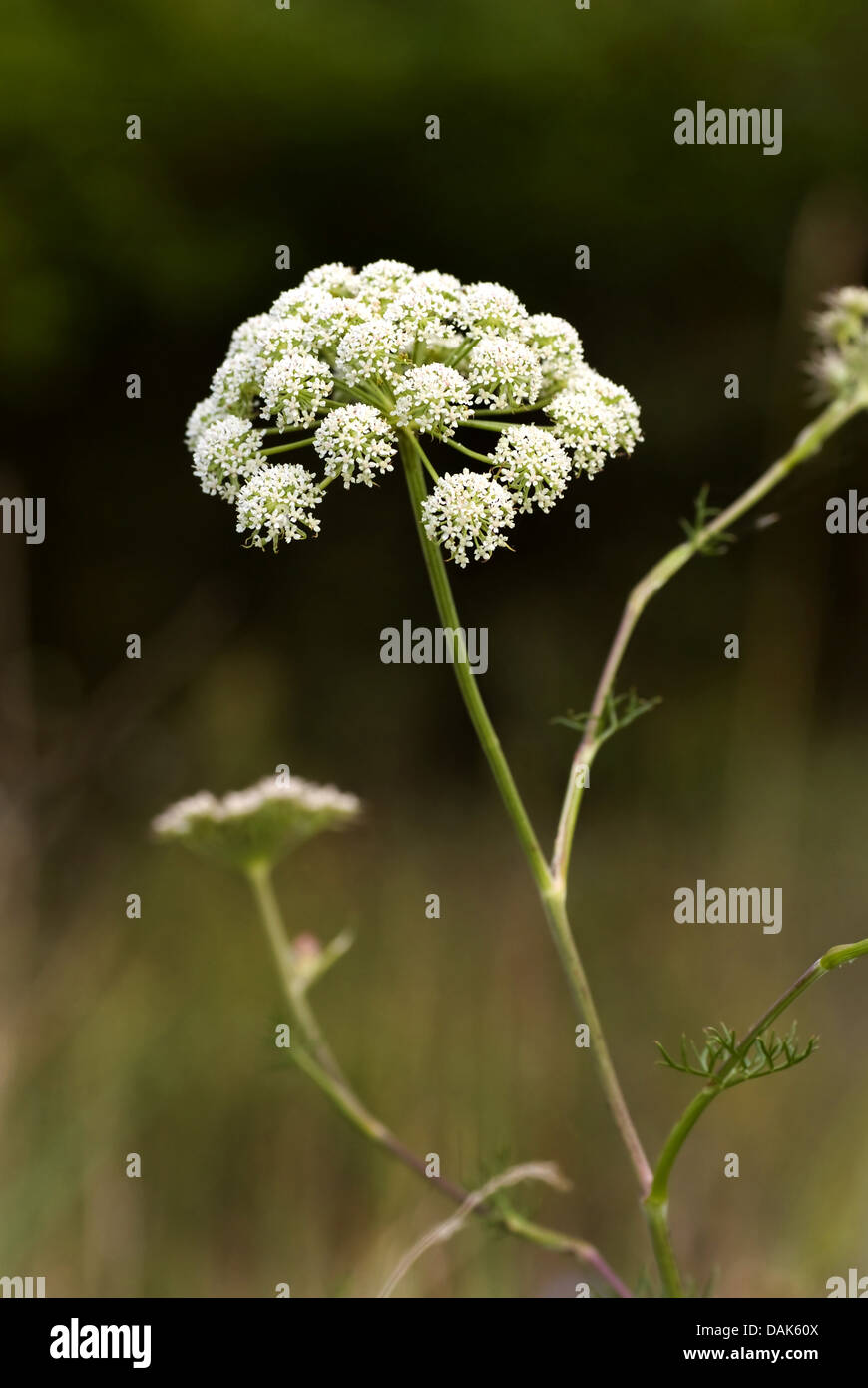Seseli annuum (Seseli annuum), blooming - Stock Image