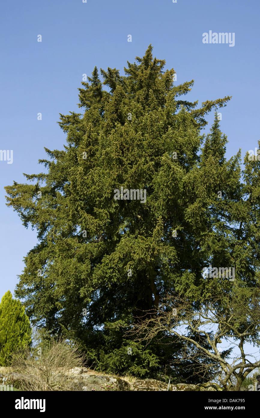 common yew (Taxus baccata), single tree, Germany - Stock Image
