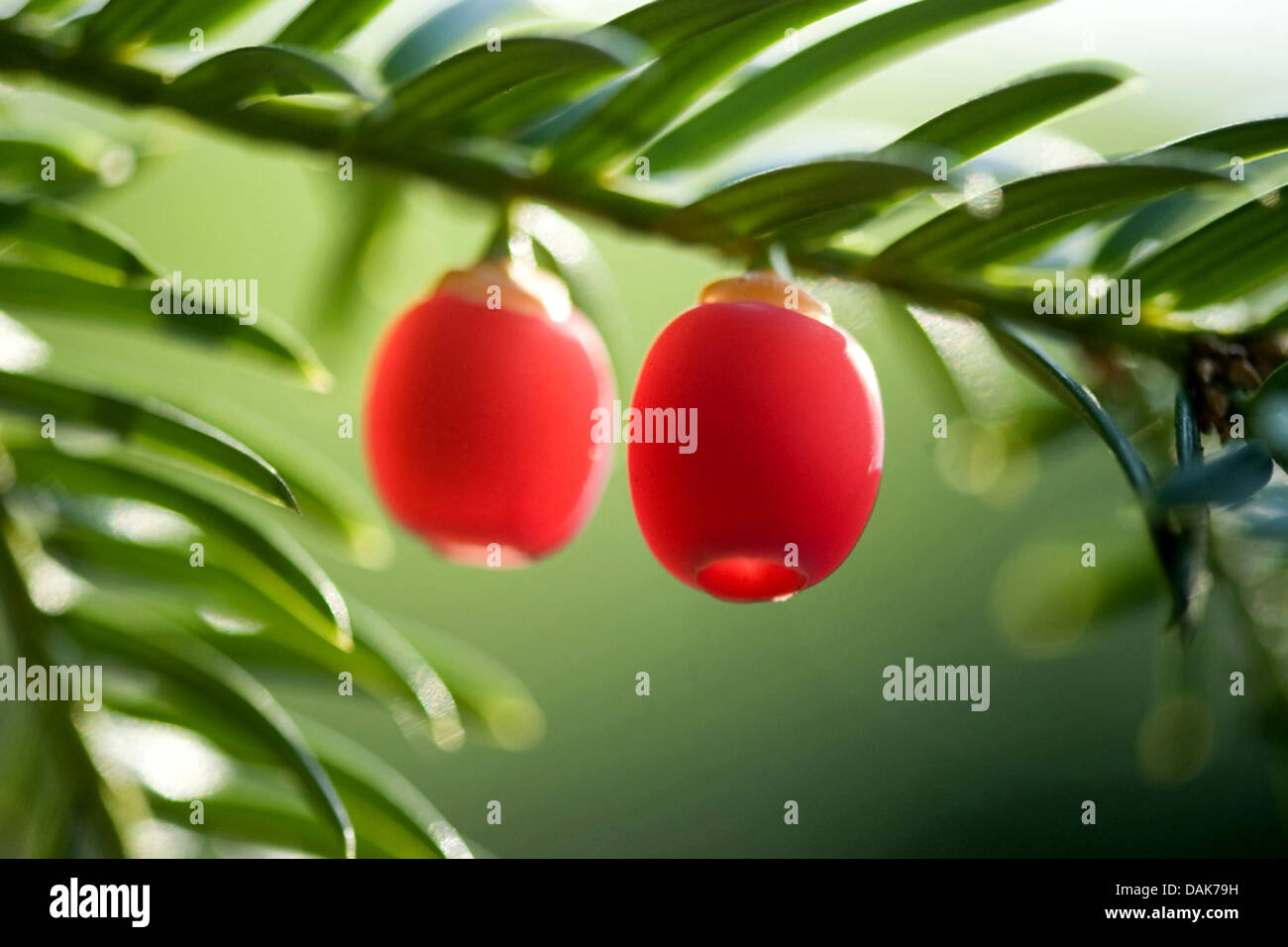 common yew (Taxus baccata), branch with mature seeds, Germany - Stock Image