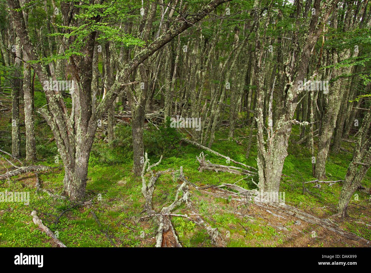 forest near the  Perito-Moreno Glacier, Argentina, Patagonia, Andes, Los Glaciares National Park - Stock Image