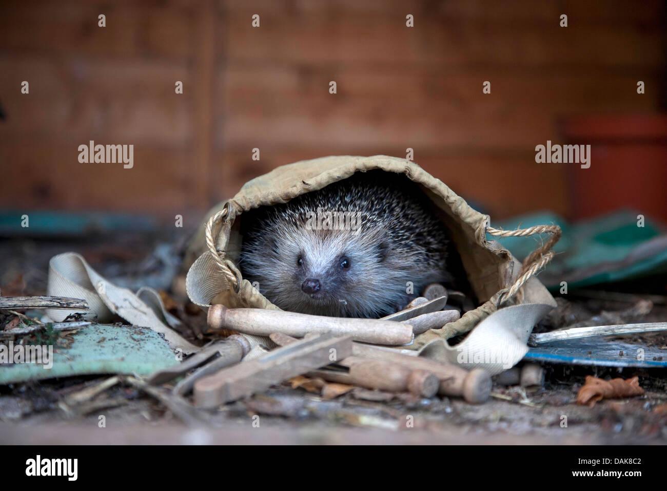 European hedgehog in garden - Stock Image