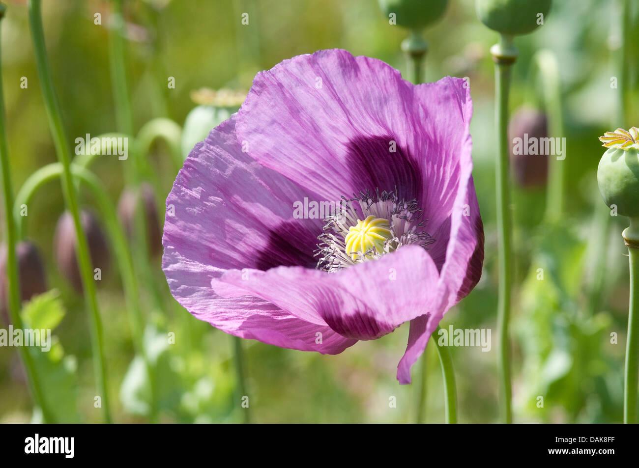 Purple poppy flower stock photos purple poppy flower stock images purple poppy flower in wildflower meadow stock image mightylinksfo