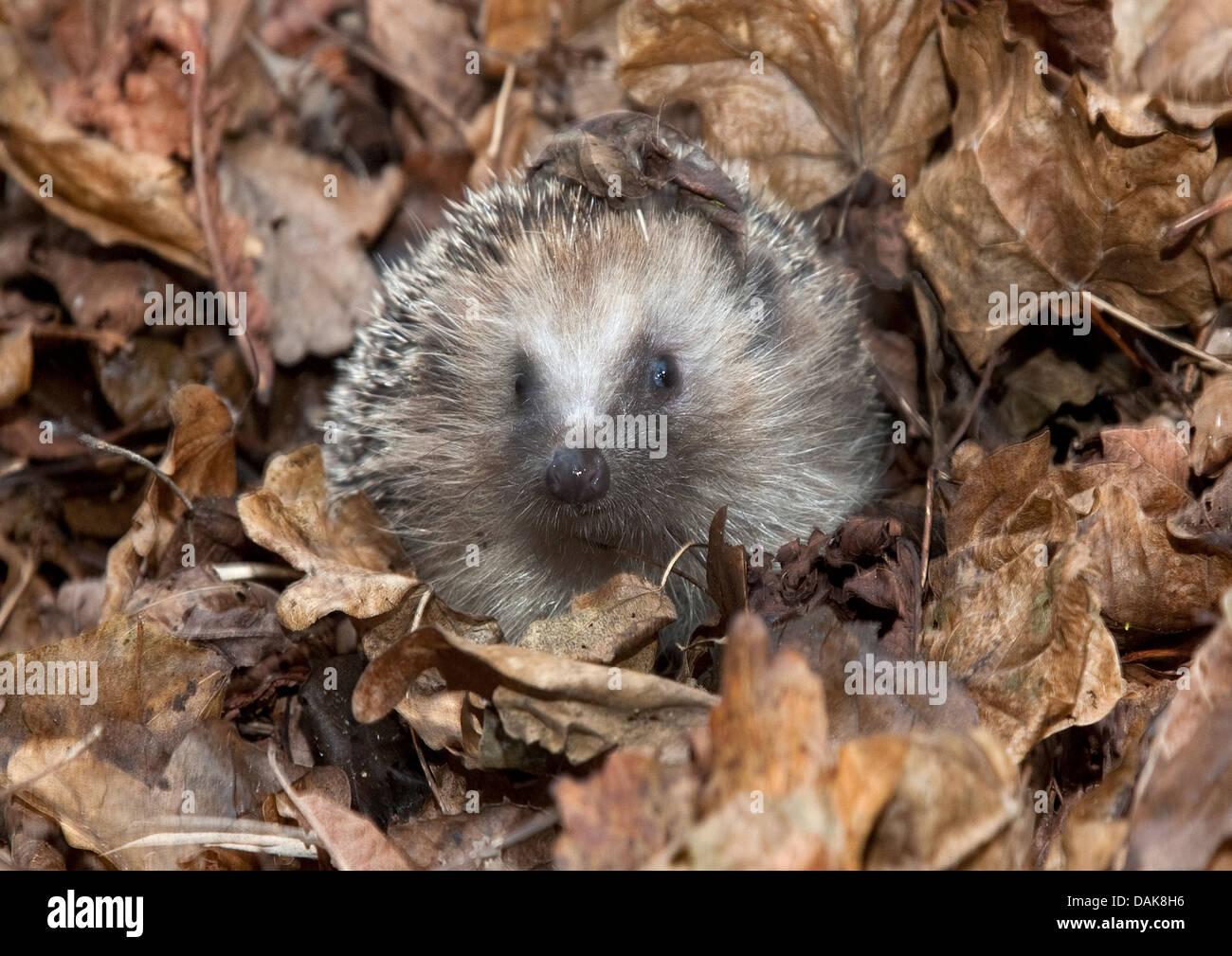 European Hedgehog in leaf pile - Stock Image