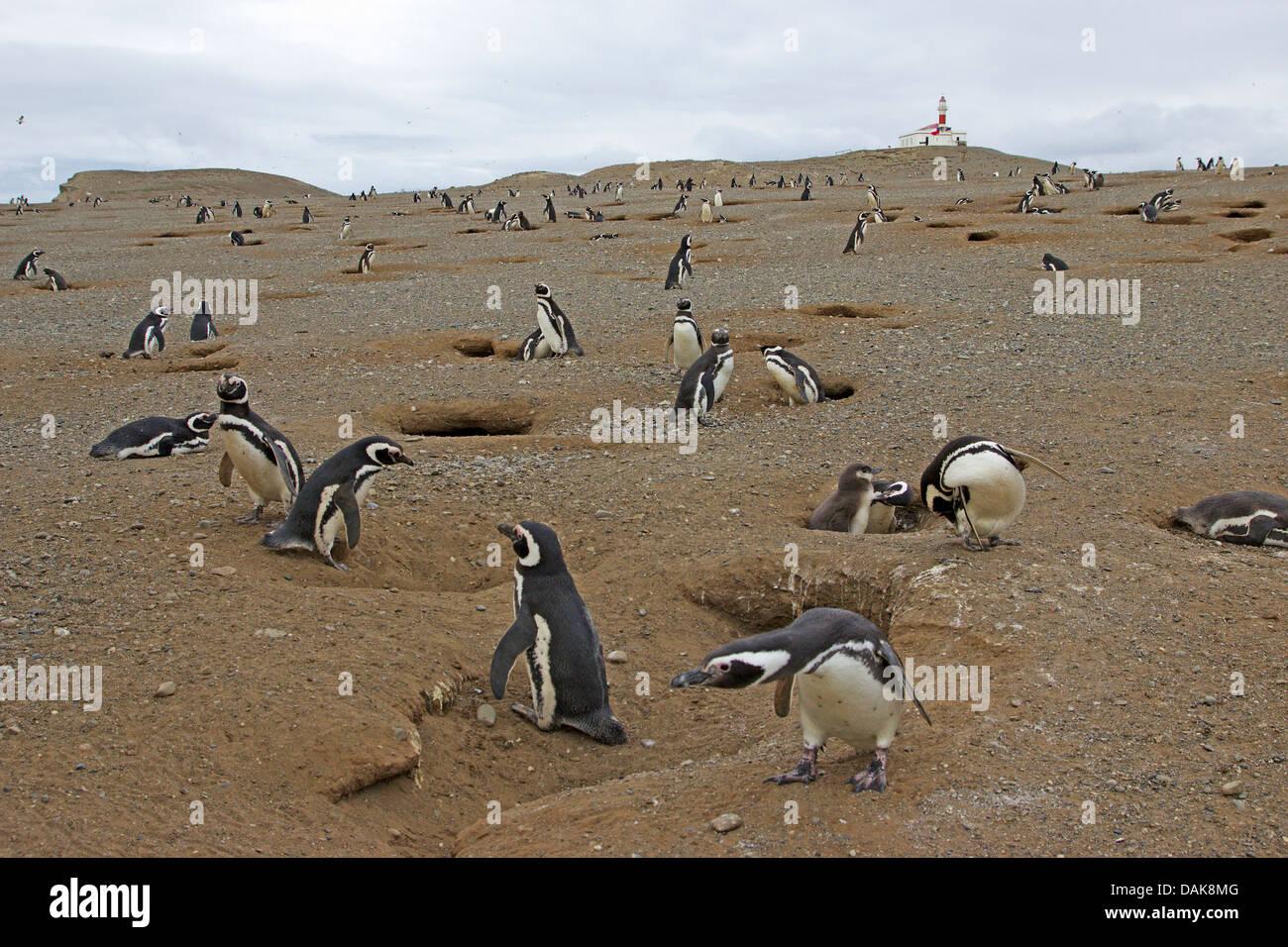 Magellanic penguin (Spheniscus magellanicus), penguin colony, Chile, Isla Magdalena, Punta Arenas Stock Photo