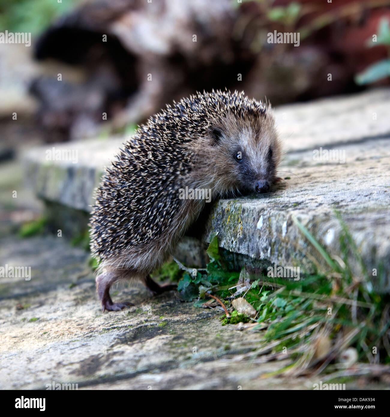 European hedgehog climbing garden steps - Stock Image