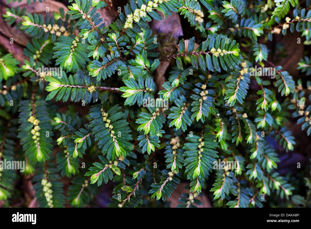 Tiny ferns in rainforest undergrowth, Papua New Guinea Stock Photo