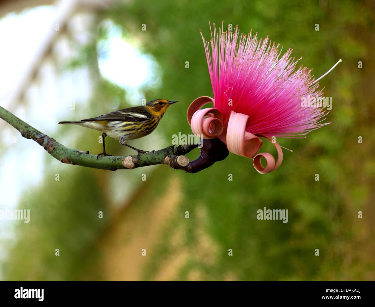 songbird on a twig of Calliandra grandiflora, Cuba - Stock Image