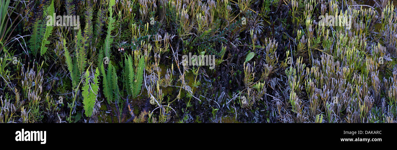 Ferns and other terrestrial vegetaion growing on a sloped ridge, Papua New Guinea - Stock Image