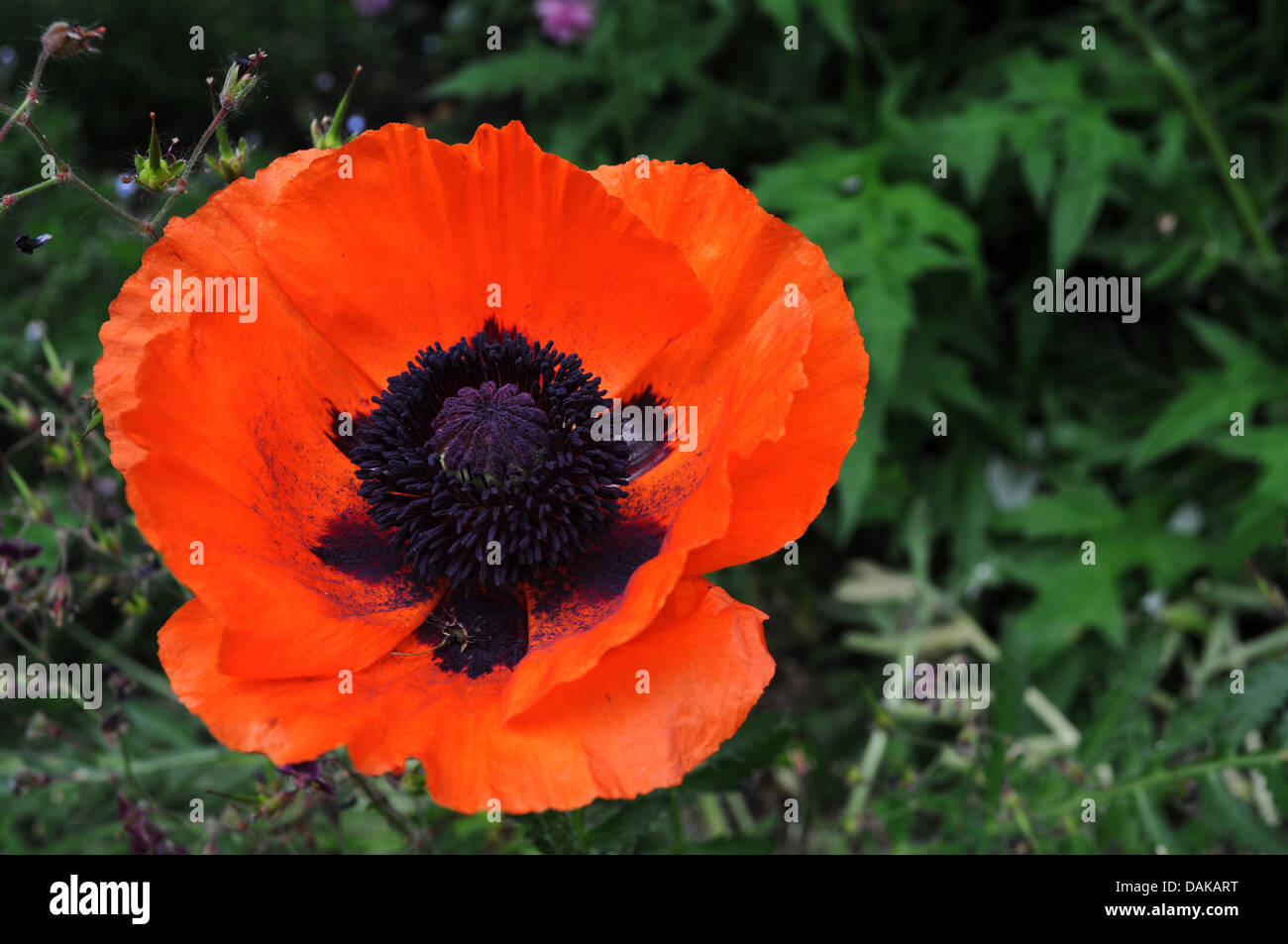 Large Red And Orange Poppy Flower In A Garden Stock Photo 58203260