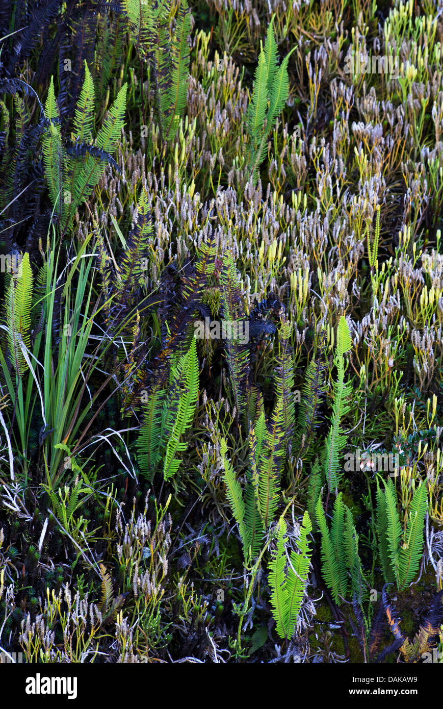 Ferns and other terrestrial vegetation growing on a sloped ridge, Papua New Guinea - Stock Image