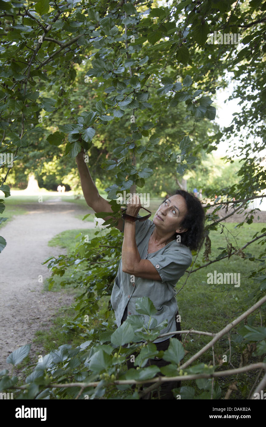 Woman picks wild mulberrys in Prospect Park, Brooklyn, New York. - Stock Image