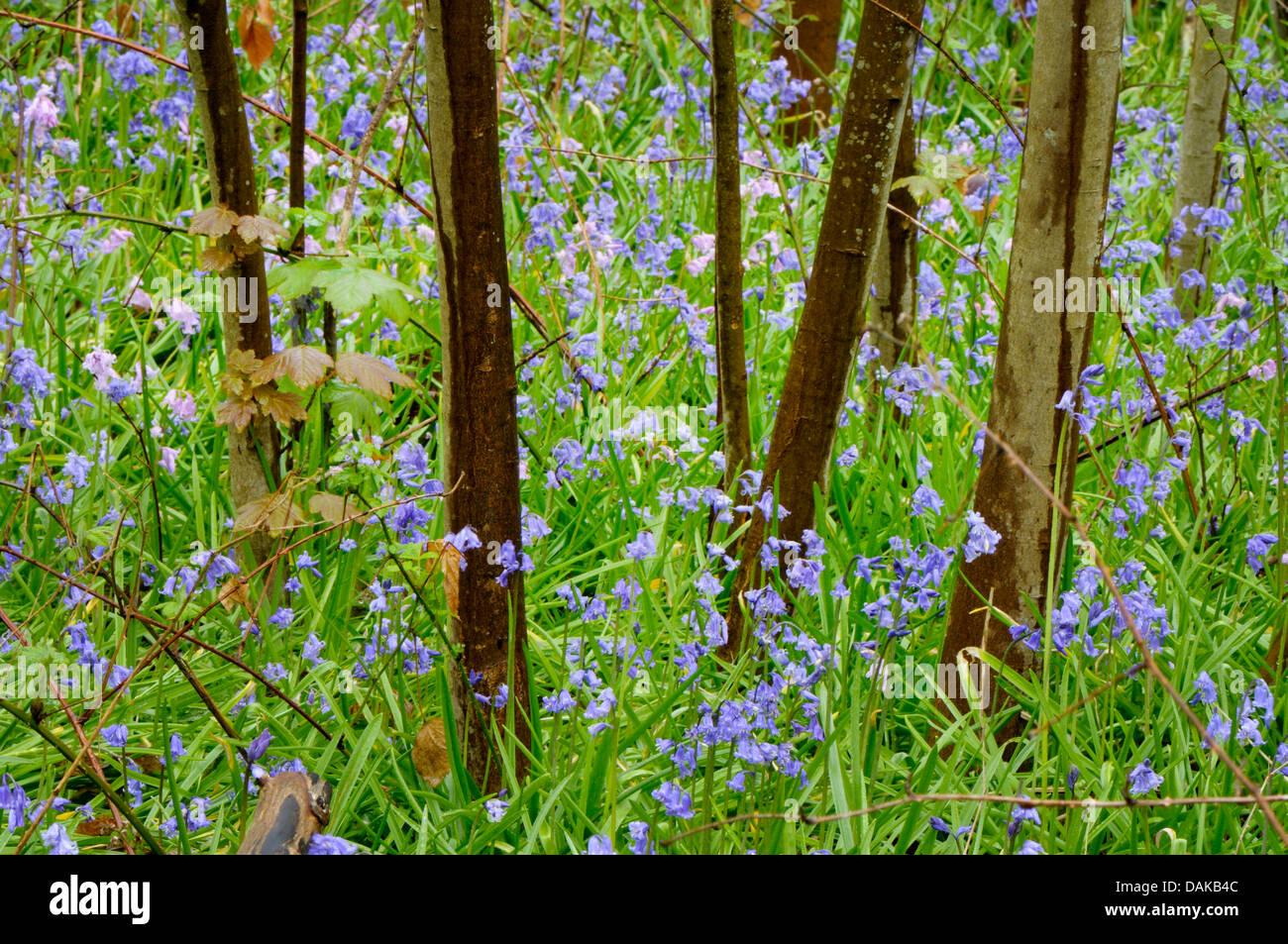Atlantic bluebell (Hyacinthoides non-scripta, Endymion non-scriptus, Scilla non-scripta), several Atlantic bluebells - Stock Image