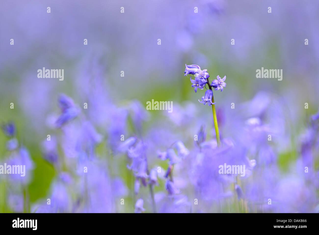 Atlantic bluebell (Hyacinthoides non-scripta, Endymion non-scriptus, Scilla non-scripta), single inflorescence, - Stock Image