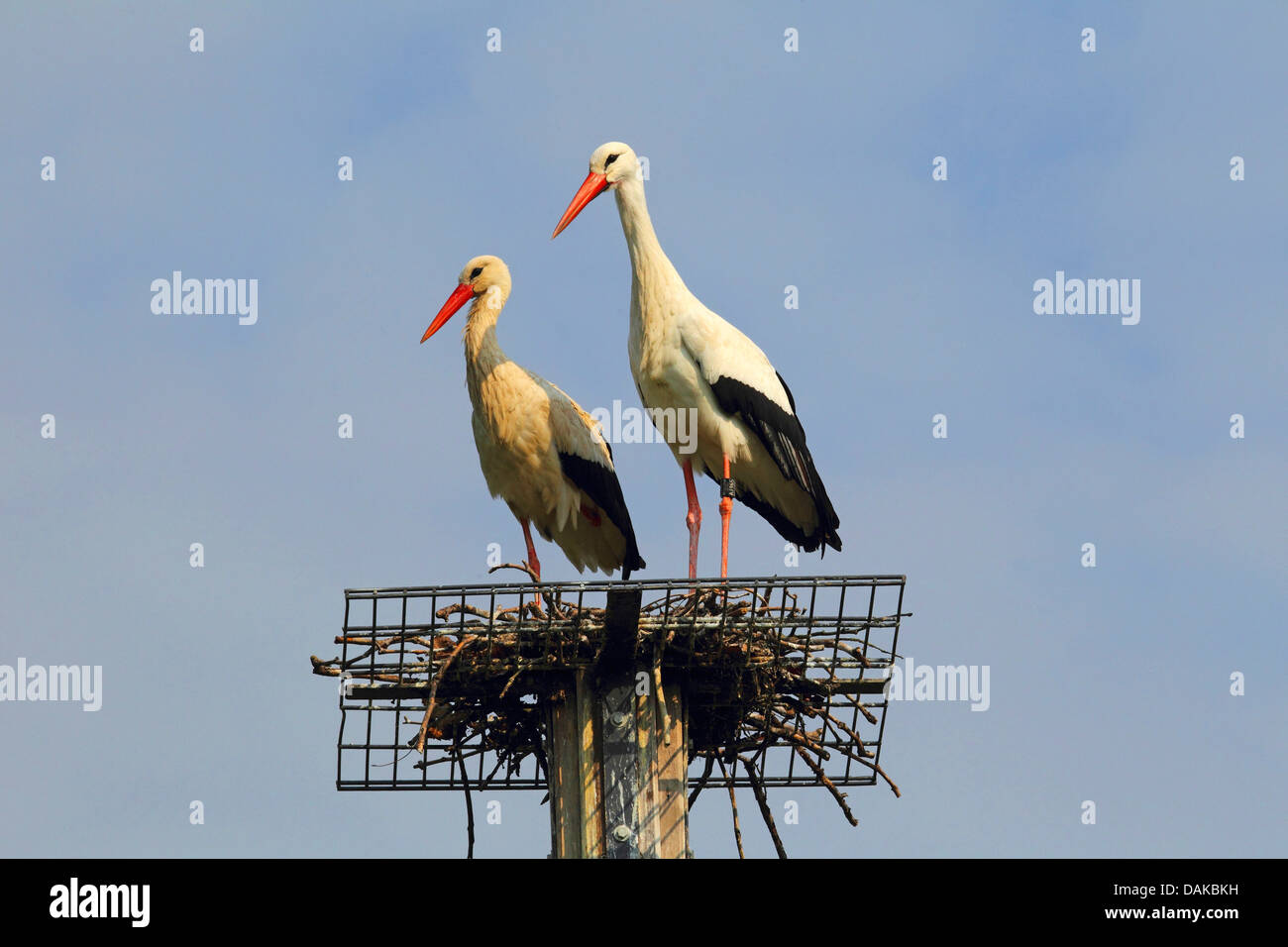 white stork (Ciconia ciconia), two white storks on nesting aid, Germany Stock Photo