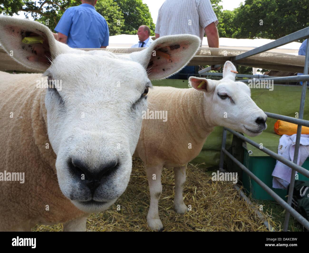 Texel sheep, Newport Show, Chetwynd Deer Park, Newport