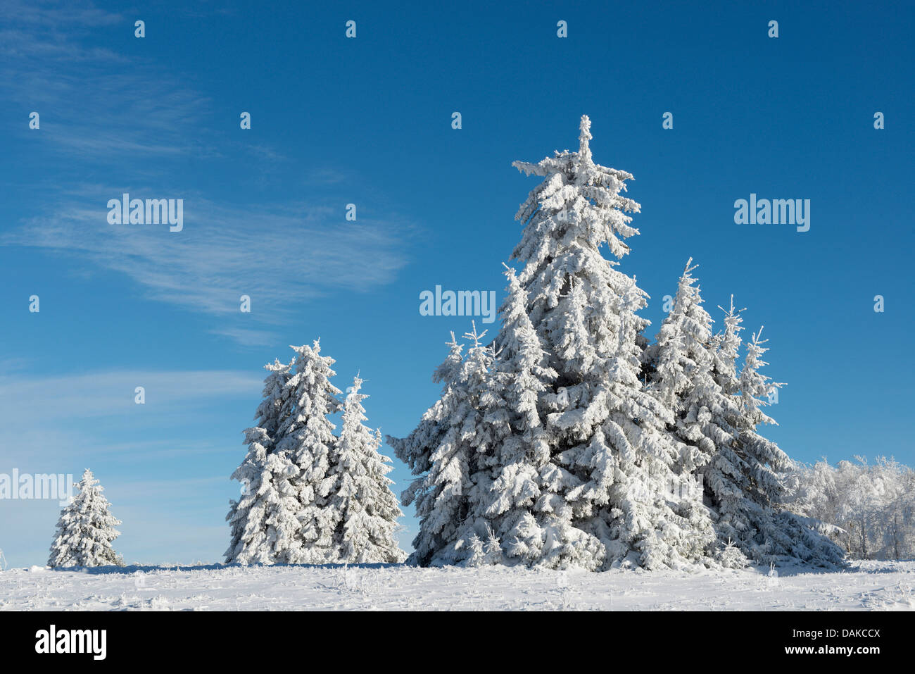 Norway spruce (Picea abies), snow-covered spruces at Kahler Asten, Germany, North Rhine-Westphalia, Sauerland Stock Photo