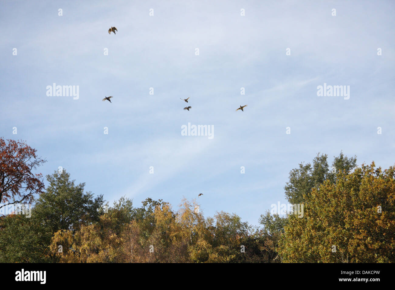 Pheasants emerging over wood in foreground with the birds in a blue , flying towards a shooting line, having been - Stock Image