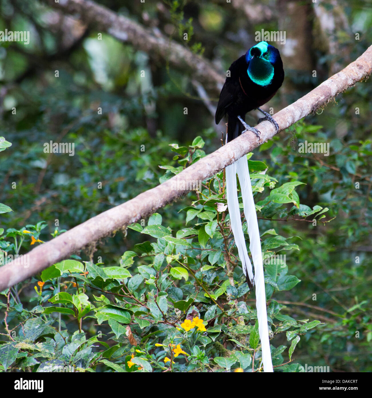 Adult male Ribbon-tailed Astrapia (Astrapia mayeri), a