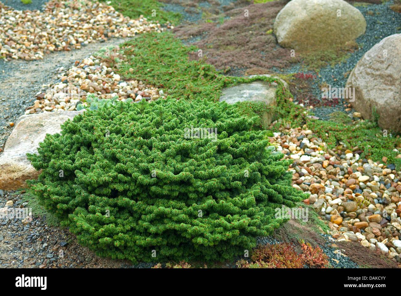 balsam fir (Abies balsamea 'Nana', Abies balsamea Nana), cultivar Nana - Stock Image