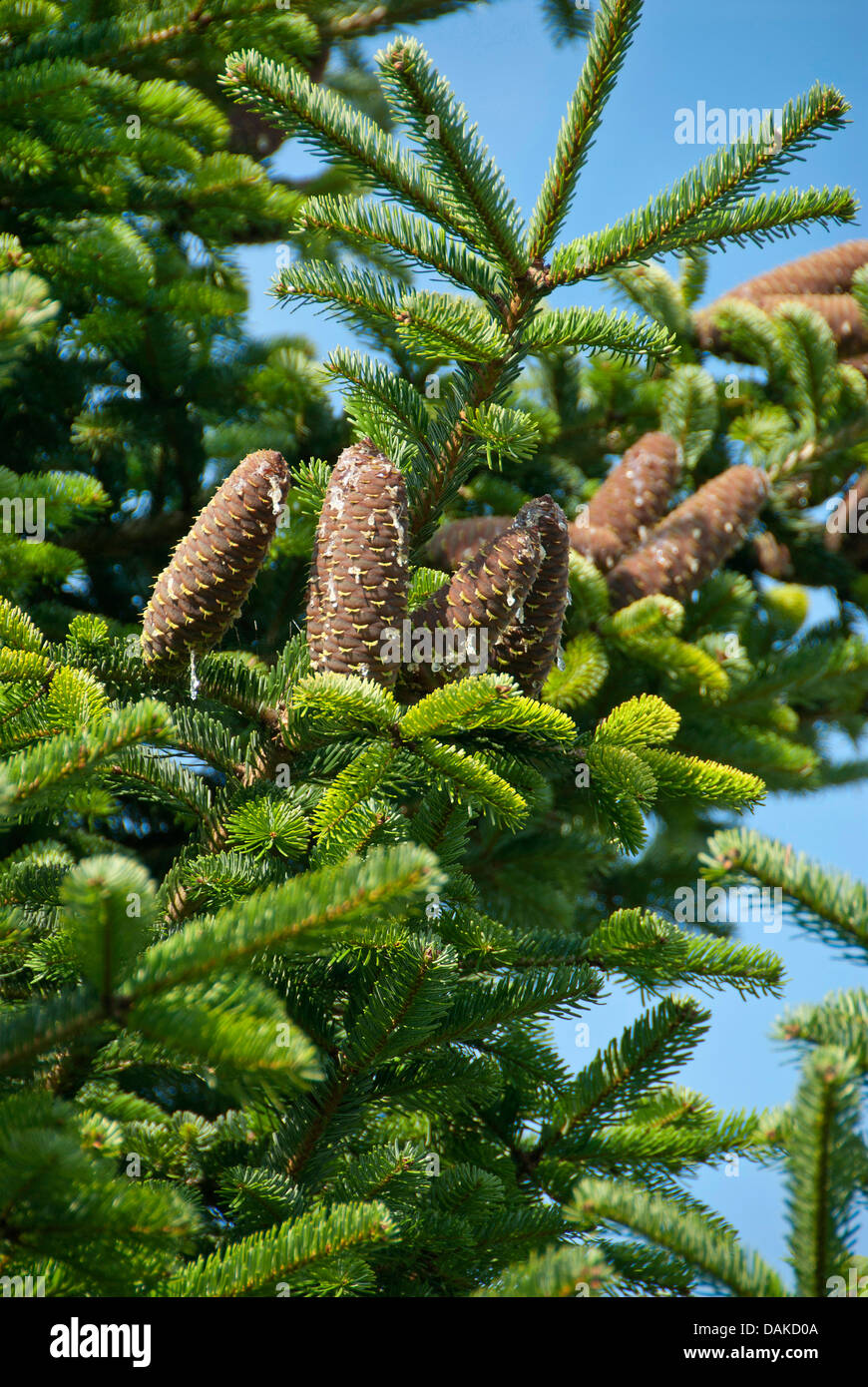 Nordman fir (Abies nordmanniana), branch with cones, Germany, Saxony - Stock Image