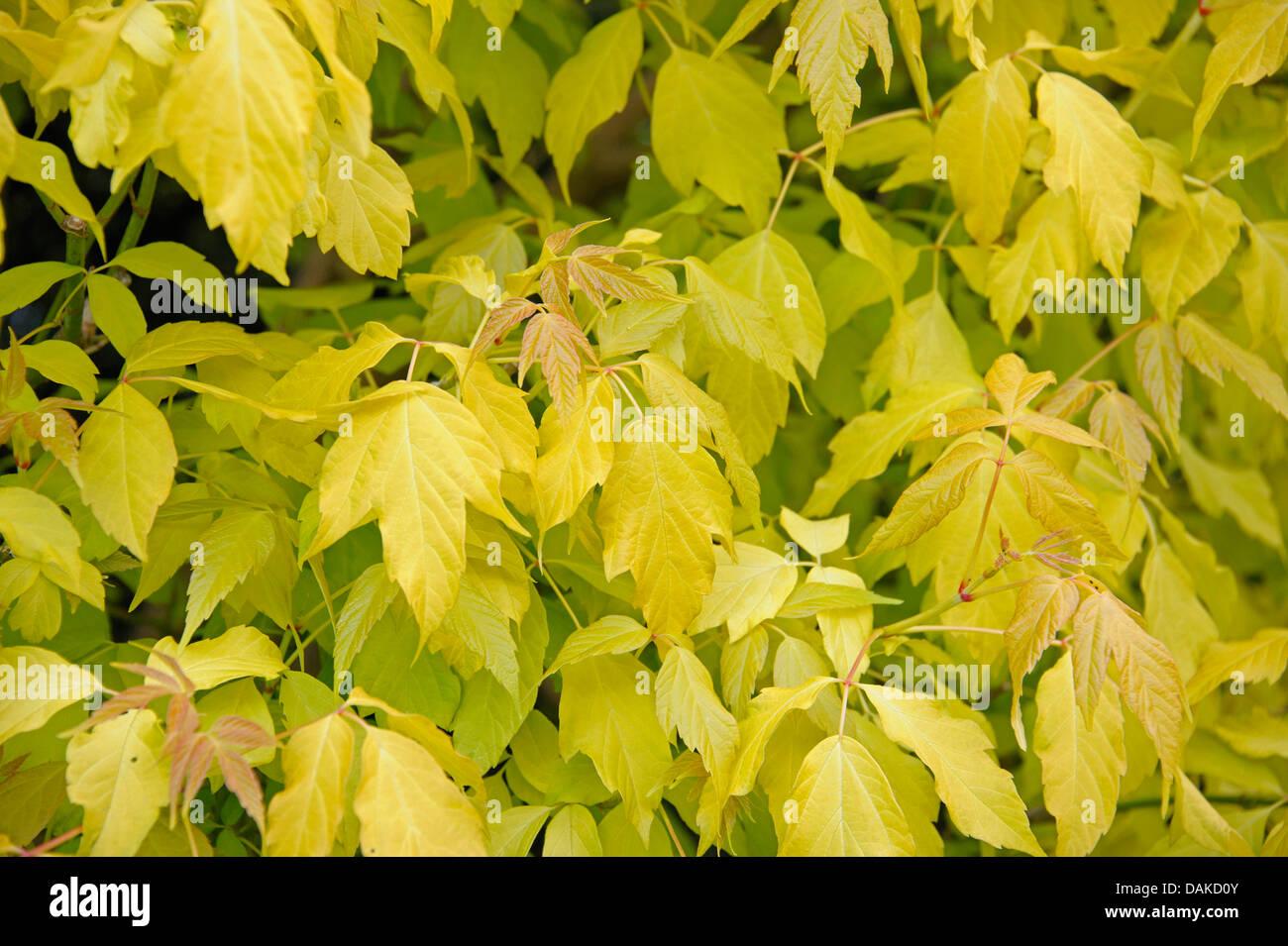 Ashleaf Maple Box Elder Acer Negundo Odessanum Acer Negundo