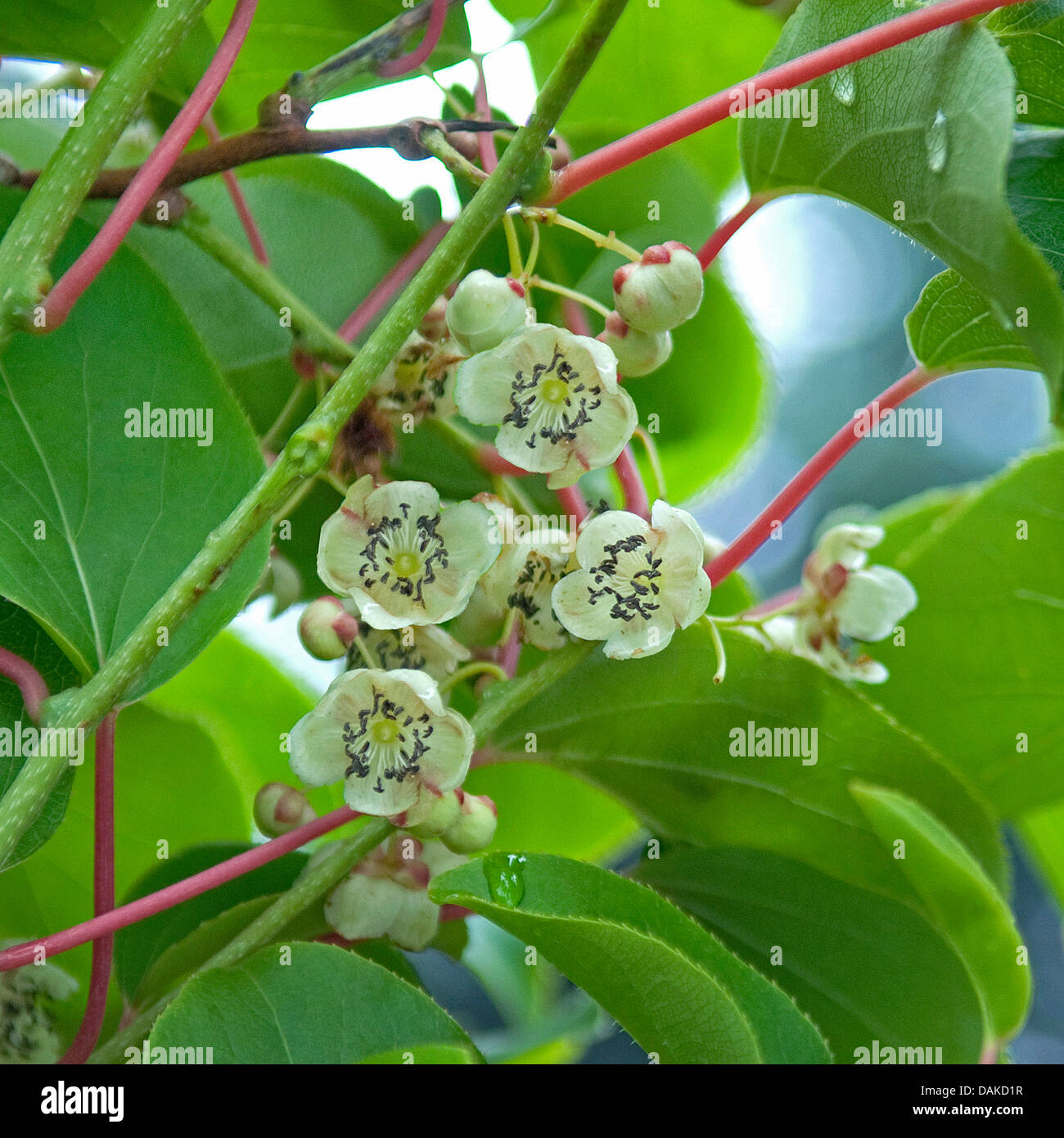 kiwi (Actinidia arguta 'Milano'), male flowers, Germany Stock Photo