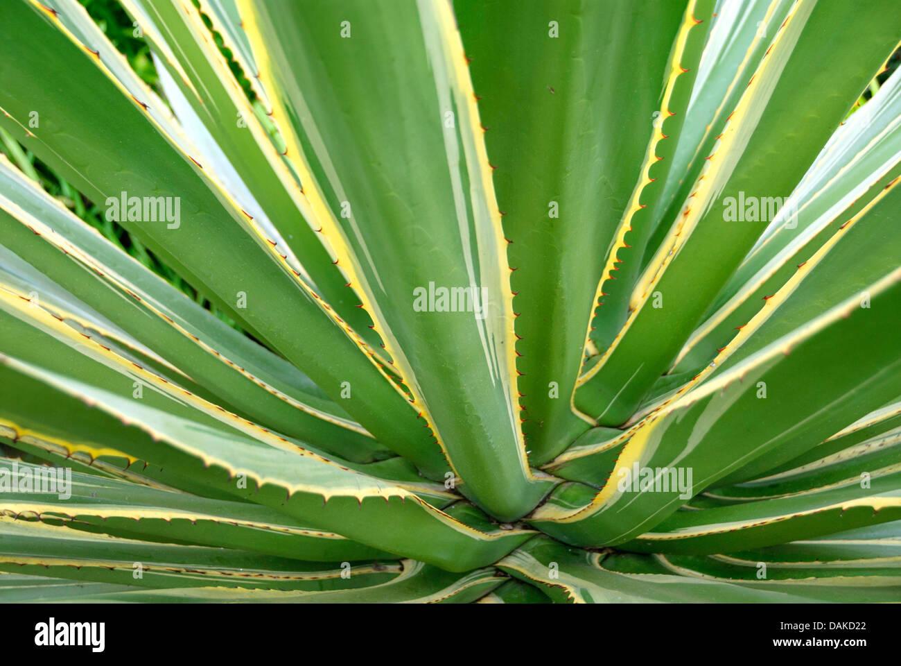 Maguey lechugilla Agave angustifolia