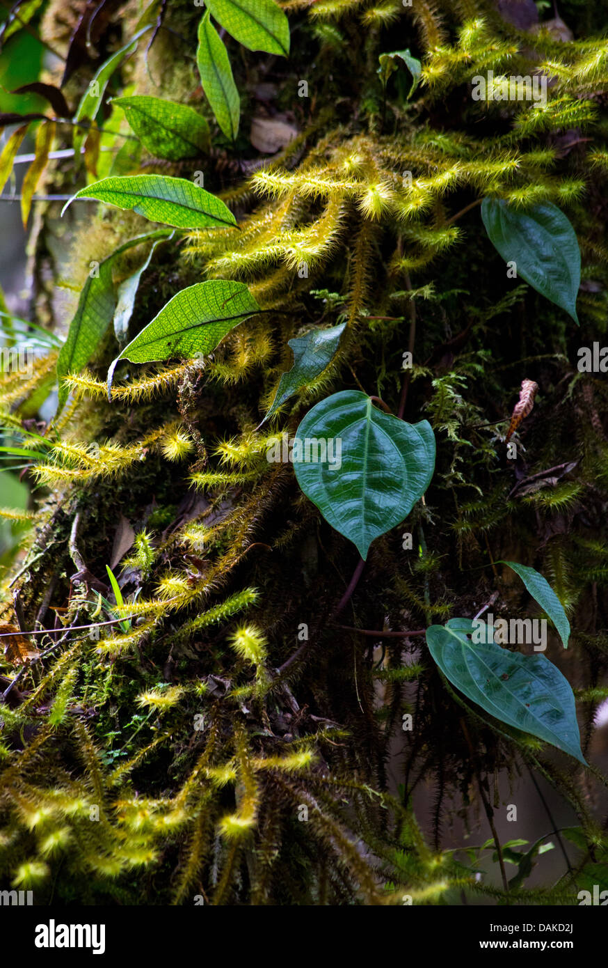 Moss and vine on a tree trunk in forest undergrowth, Papua New Guinea - Stock Image