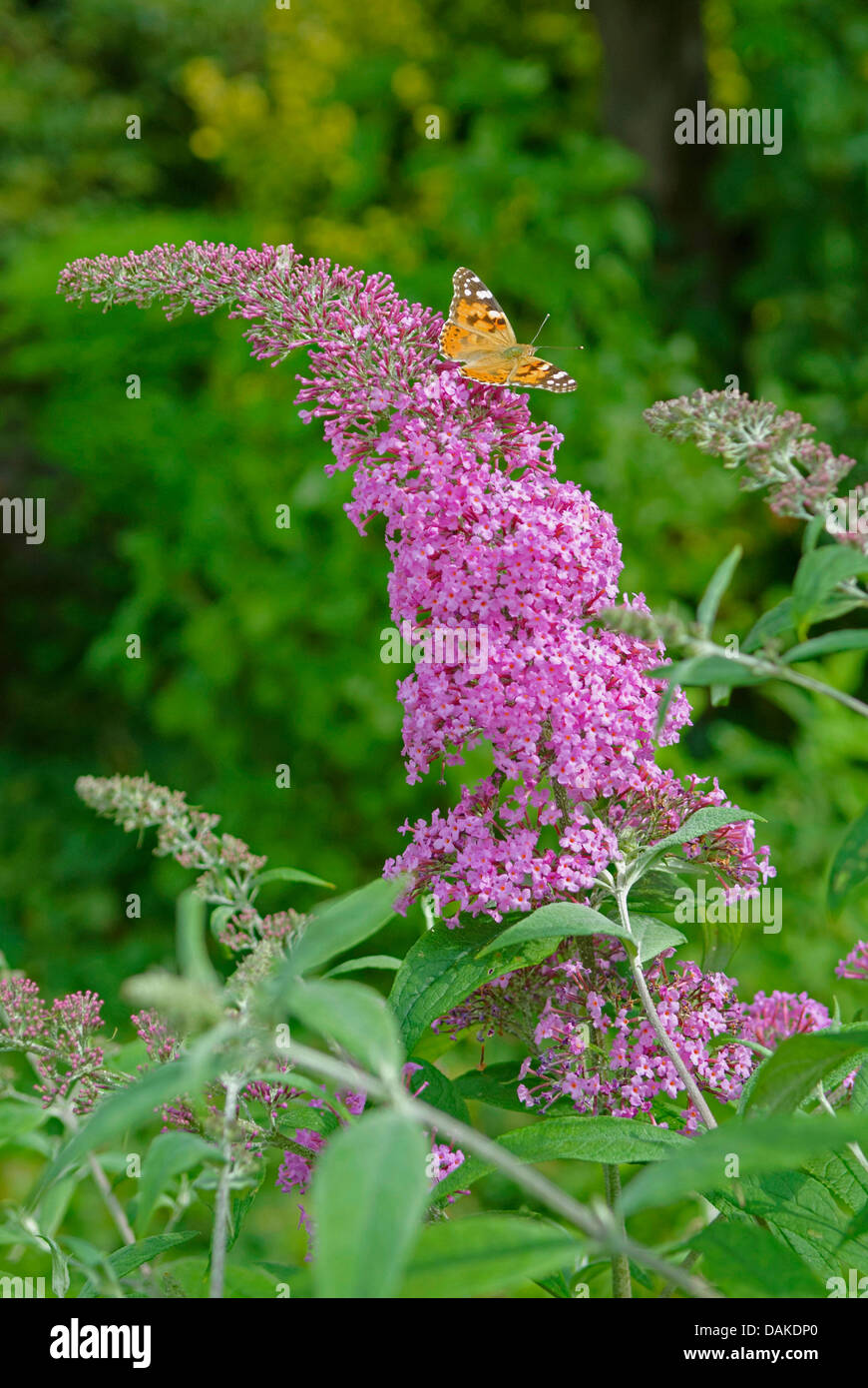 orange eye butterfly bush, violet butterfly bush (Buddleja davidii 'Pink Delight', Buddleja davidii Pink - Stock Image