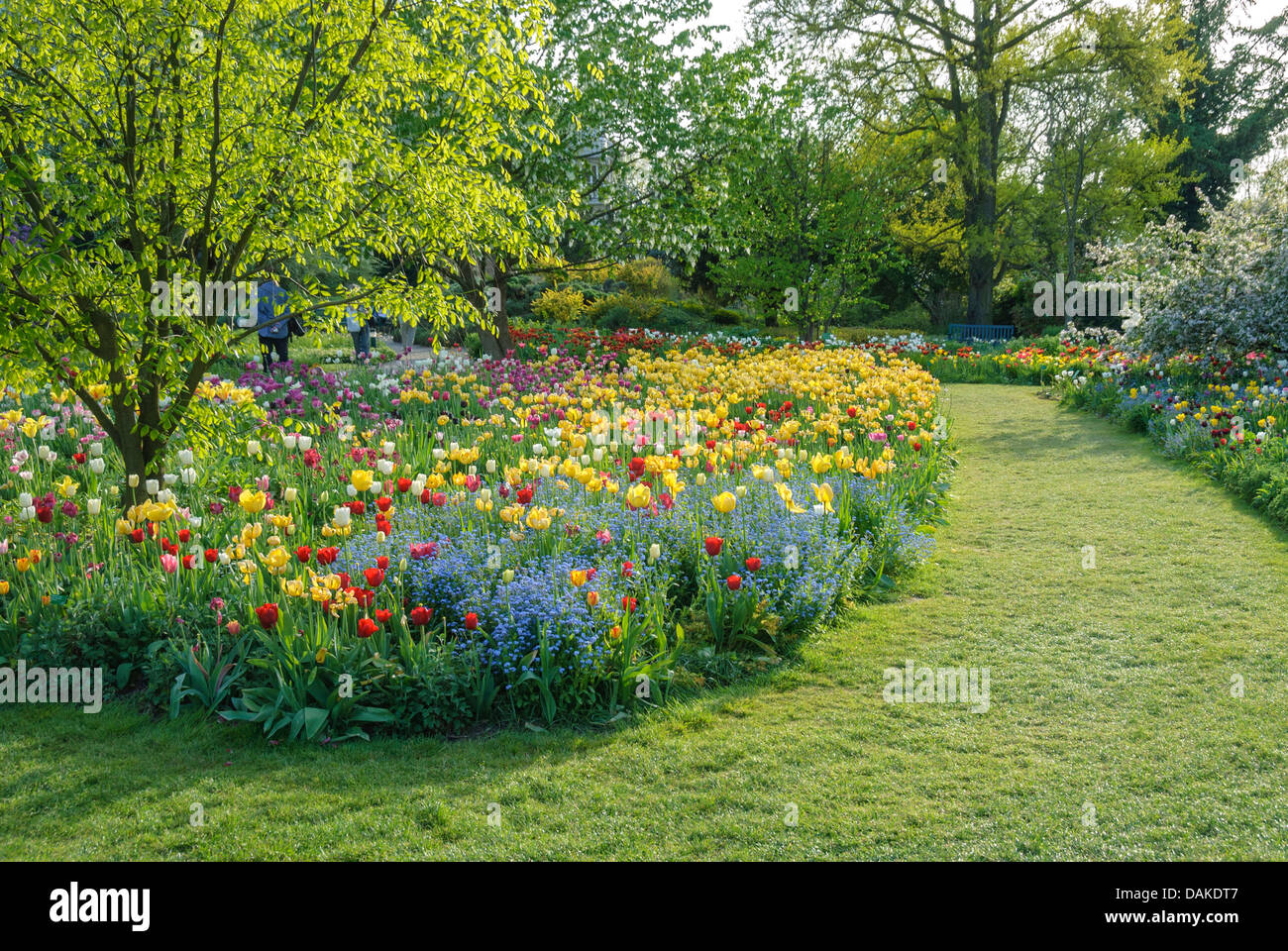 Yellow Wood (Cladrastis lutea), in a tulip bed - Stock Image