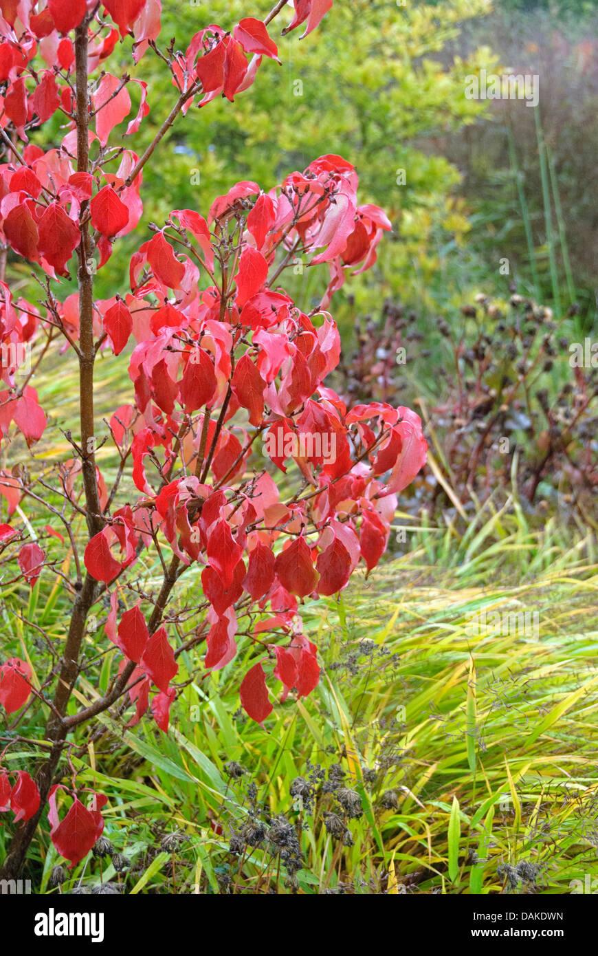 kousa dogwood, Japanese Dogwwod (Cornus kousa 'Schmetterling', Cornus kousa Schmetterling), cultivar Schmetterling - Stock Image