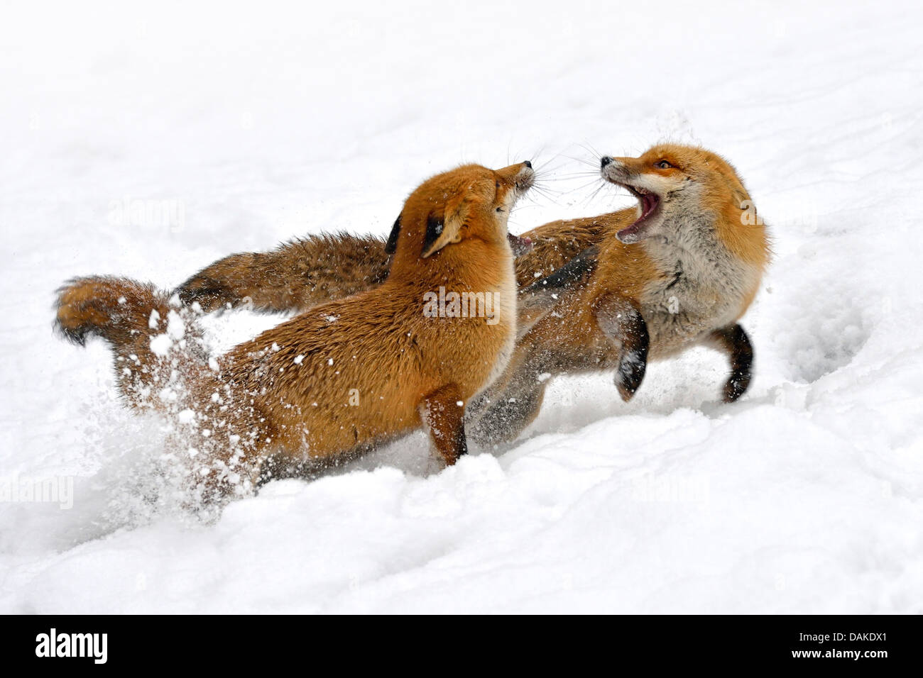 red fox (Vulpes vulpes), two foxes fighting in the snow, Germany - Stock Image