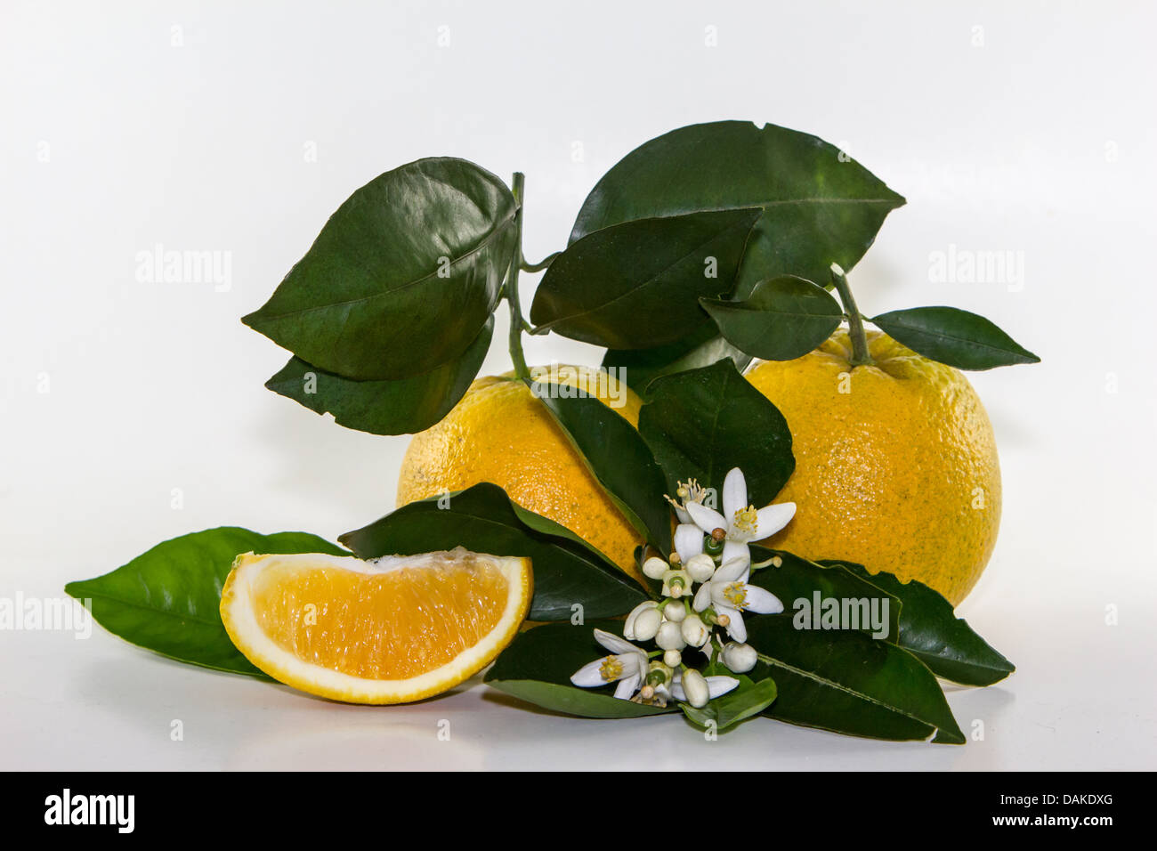 Three generations of oranges from a single tree in Florida.   The bloom, the tiny orange, and the mature fruit. - Stock Image