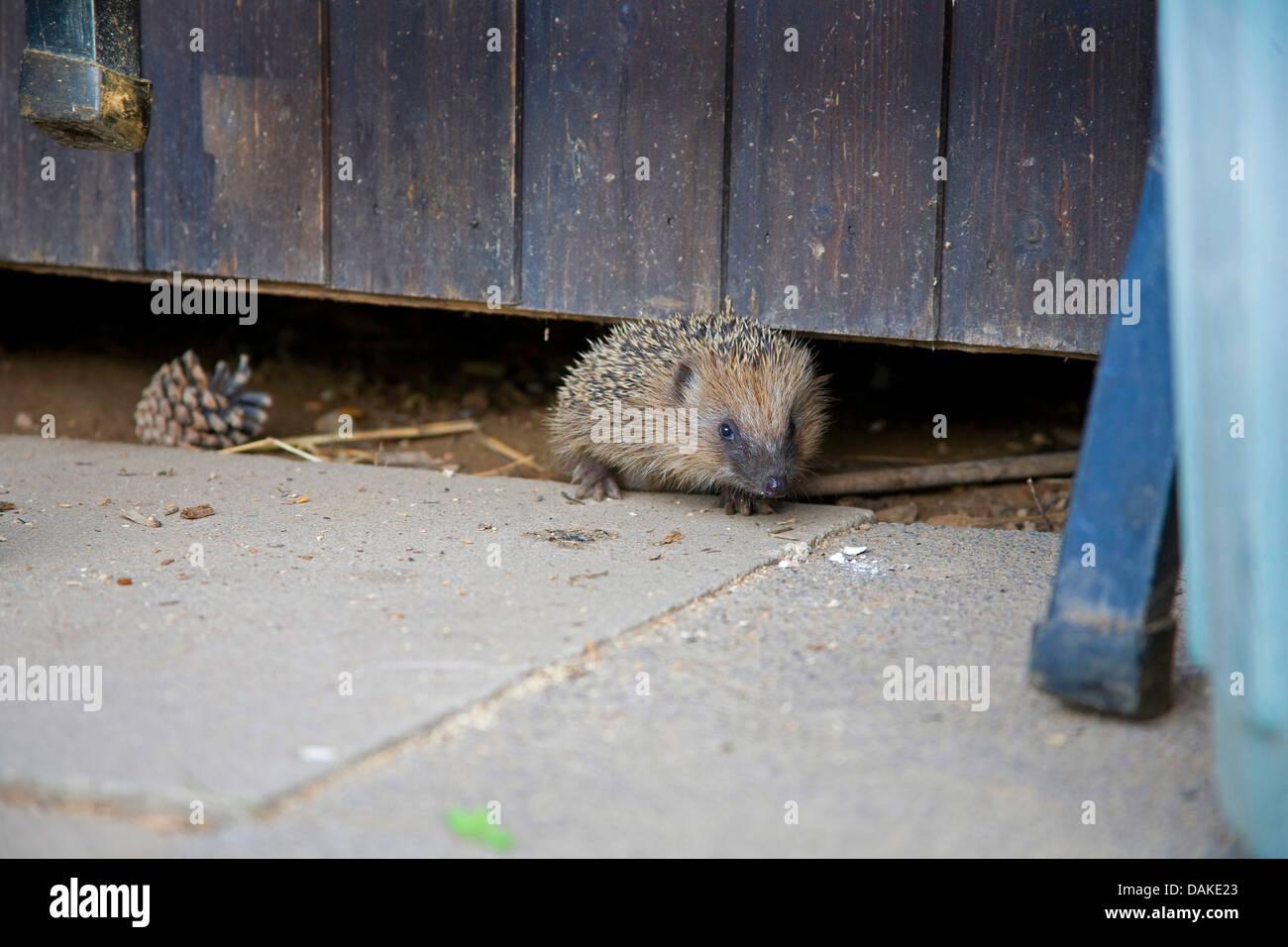 Western hedgehog, European hedgehog (Erinaceus europaeus), crawling out under a wooden hut, Germany - Stock Image