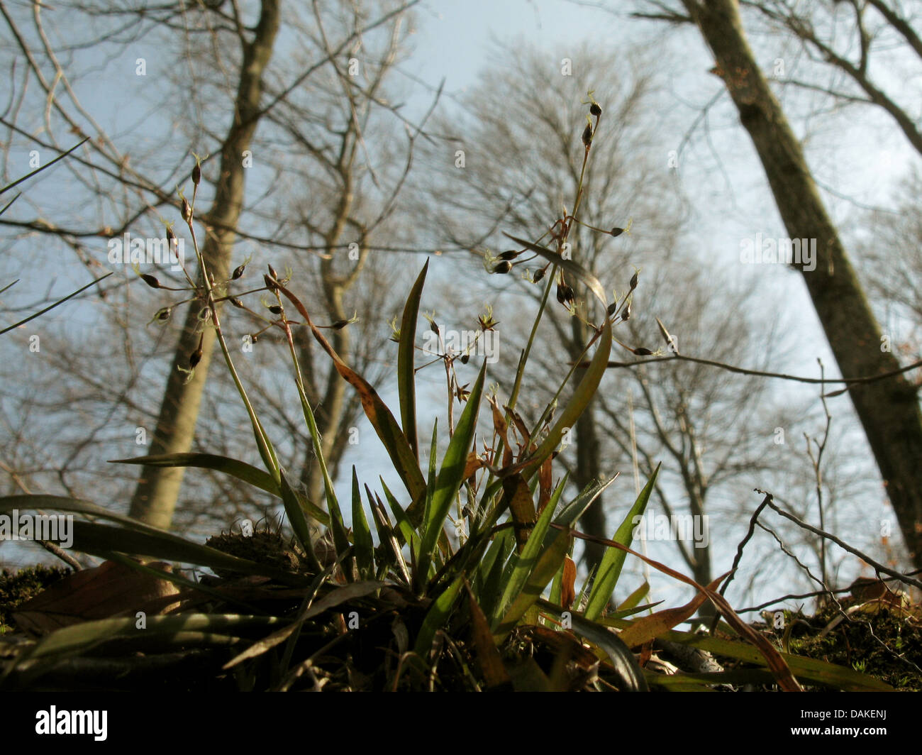 hairy wood-rush (Luzula pilosa), blooming in a spring wood, Germany, Lower Saxony - Stock Image