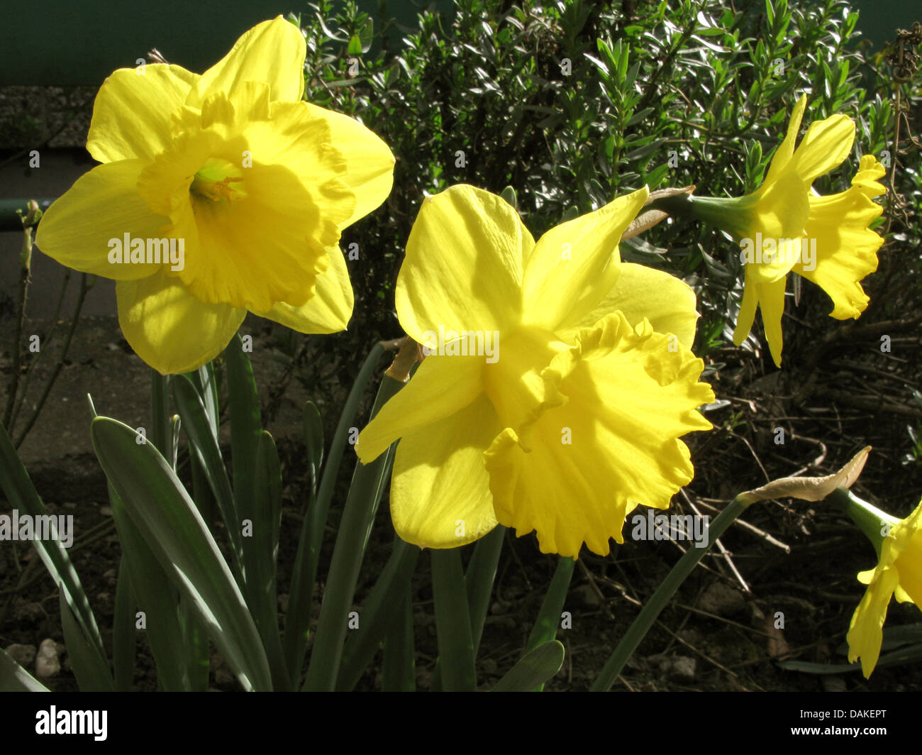 daffodil (Narcissus 'Gigantic Star', Narcissus Gigantic Star), cultivar Gigantic star, flowers in backlight - Stock Image