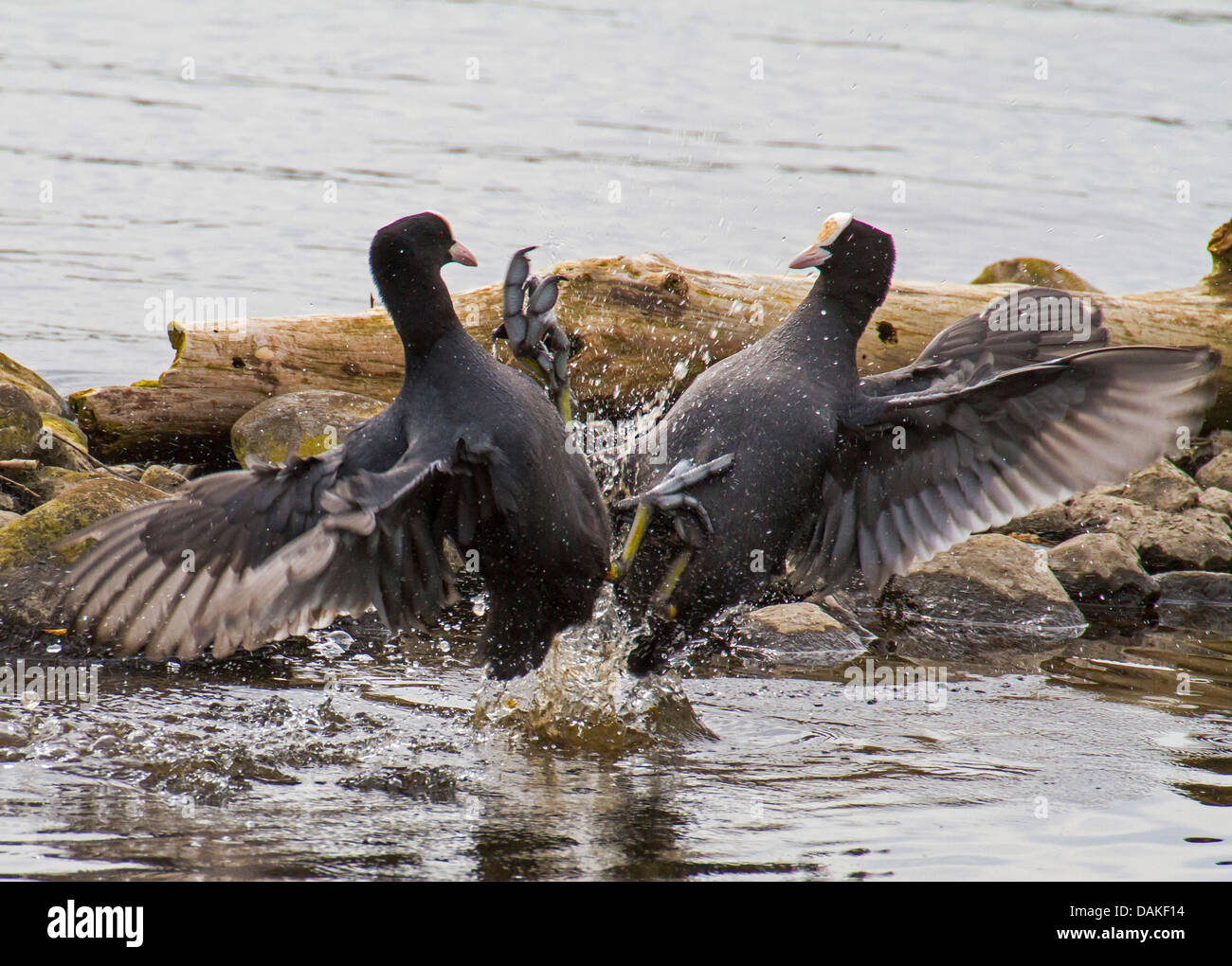 black coot (Fulica atra), two fighting black coots, Germany Stock Photo